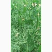 Продаю насіння чеського посівного зеленого гороху зекон
