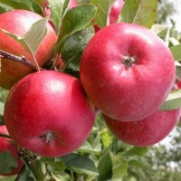 Продам яблука сорту Топаз