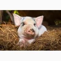 Продам свиней живою вагою 120-150