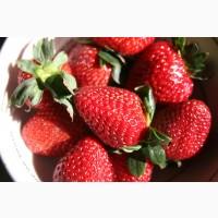 Полуниця Румба (Rumba Strawberry) саджанці полуниці Фріго