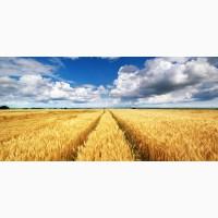 Куплю с места Пшеницу классовую, и фураж от 80т