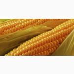 Насіння кукурудзи на силос
