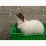 Продаем кролики племеные калифорнийские