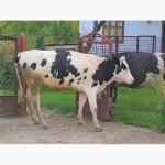 Яливка від продуктивної корови