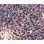 Продам семенной материал чеснока (воздушка). Сорт Софиевский