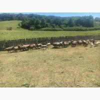 Продам котных овец чисто порода романовская 83 голов