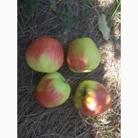 Продам яблука врожаю 2018 року з саду