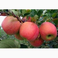 Продам яблука сорт Чемпіон