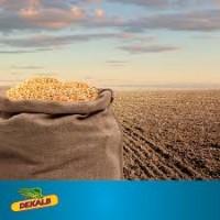 Кукуруза ДКС 3151 (DKC 3151) от производителя Монсанто (Monsanto)