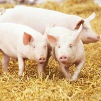Концентрат 15% для свиней