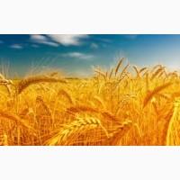 Закупаем Пшеницу.Крупный ОПТ