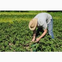 2020г новый урожай, подсолнечник