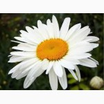 Продам саженцы ромашки садовой белой крупной и белой ранней (нивяник)