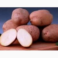 Куплю картофель от 200тн оптом от производителя