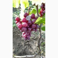 Продам виноград Подарок несветая