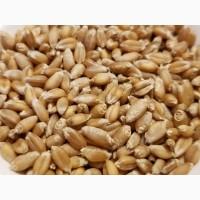 Закуповуємо пшеницю 3 та 4 класу