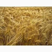 Семена пшеницы твердой НАЩАДОК элита 1 репрод