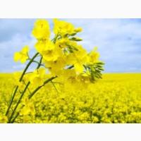 Закупаем Рапс ГМО и без ГМО