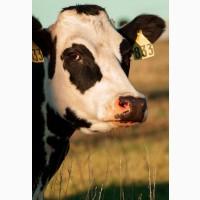 Комбинат закупает говядину в ЛЮБОМ КОЛИЧЕСТВЕ