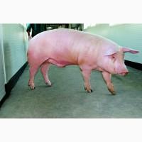 Племенные свиньи и хряки Ландрас