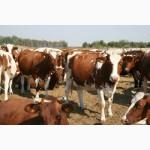 Ферма придбає дійных корів та телят на утримання