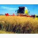 Предлагаем семена озимого рапса Синтетик