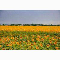 Високоякісне насіння соняшнику від виробника