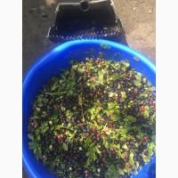Продам ягоди (Яфени) 1-2 сорту в сутки од500 до 1300