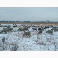 Продам 300 голов котных овец