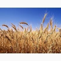 Компанія постійно закуповує пшеницю 2кл., 3кл., 6кл