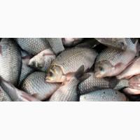 Продам товарную рыбу: коров толстолоб, щука, судак