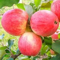 Закупаем яблоки оптом, наличнымм