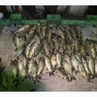 Продам живую рыбу, со своего водо хранилища, у рыбы нету запаха и отличный вкус Харьков