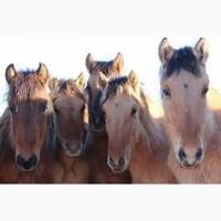 Куплю корів та коней дорого вище ціни м#039; ясокомбінату