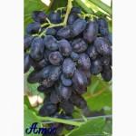 Продаем саженцы винограда