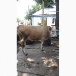 Продається теличка на корову