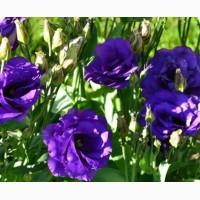 Продам семена Эустома АВС 2 F1 Синяя крупноцветковая махровая