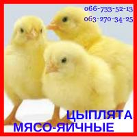 Цыплята мясо-яичные суточные мастер грей, ред бро, голошея (испанка)