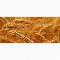 Семена пшеницы Шестопаловка-элита
