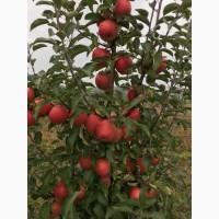Продам сортові яблука