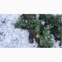 Семена озимого гороха Мороз (первая репродукция)