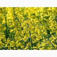 Семена озимого рапса Полярис (Раундапоустойчивый)