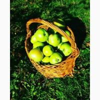 Продам яблука, сорт Greensleeves