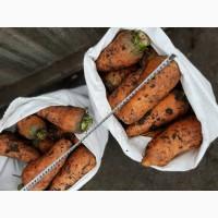Продаем крупную морковь на переработку (морковча)