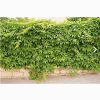 Виноград девичий пятилисточковый дикий саженцы купить украина лиана