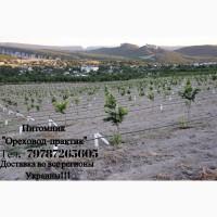 Саженцы фундука крупноплодного Трапезунд. Вегетативные отводки