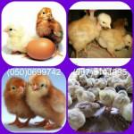 Продам цыплят Фокси Чик, Мастер Грей и другие опт и розница