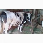 Продається корова 6 років