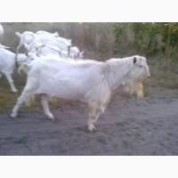 Продадим племенного козла