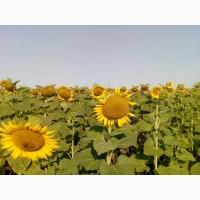 Семена подсолнечника Сонячний настрій (устойчив к Гранстар Про) ВНИС